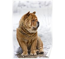 Winter chow dog portrait Poster