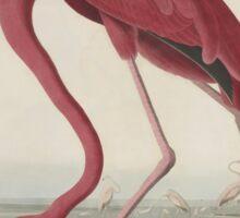 John James Audubon American Flamingo  Sticker