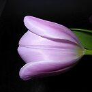 A Tulip At Midnight by Fara
