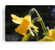 Raindrops, Daffodils, Sunshine Canvas Print