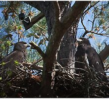Sibling Juvenile Bald Eagles, Jordan Lake, NC by Denise Worden