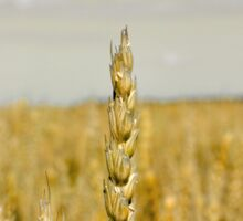 Golden wheat Sticker