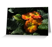 Spotlight on Spring Primula Blooms Greeting Card
