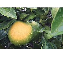 Ripening  Photographic Print