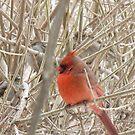 Little Cardinal by MarianBendeth