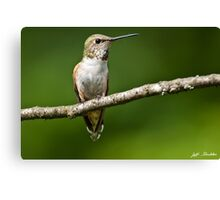 Female Rufous Hummingbird in a Tree Canvas Print