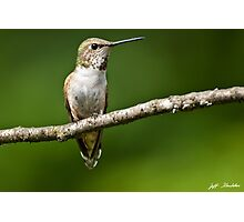 Female Rufous Hummingbird in a Tree Photographic Print