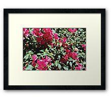 Fuschia Blooms (Palm Springs) Framed Print