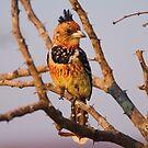 Crested Barbet, Kruger National Park, South Africa by Erik Schlogl