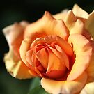 Blushing Orange Rose by Joy Watson