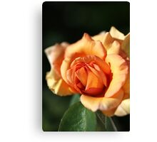 Blushing Orange Rose Canvas Print