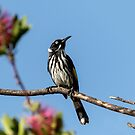 New Holland Honey Eater - Kardinya W.A. by Sandra Chung