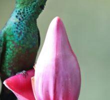 Green-Crowned Brilliant Hummingbird - Costa Rica Sticker