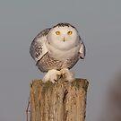 Snowy Owl prepares for liftoff by Jim Cumming