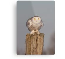 Snowy Owl prepares for liftoff Metal Print