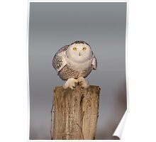 Snowy Owl prepares for liftoff Poster