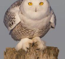 Snowy Owl prepares for liftoff Sticker