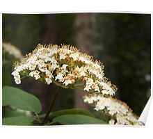 Elderberry Blossoms Poster