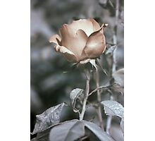 infrared rose Photographic Print