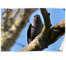 Jackdaw lunch Poster