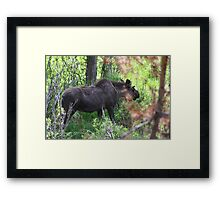 Bubba, the baby bull moose Framed Print