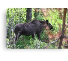 Bubba, the baby bull moose Canvas Print