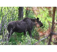 Bubba, the baby bull moose Photographic Print