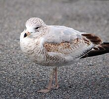Ring Billed Gull by Cynthia48