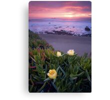 Blooming Ice Plants. Canvas Print