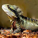 Male Eastern Water Dragon, Australian Lizard, Queensland. by johnrf
