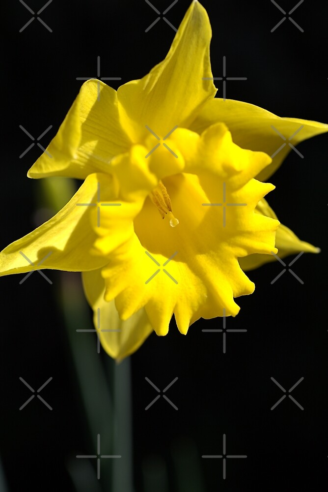 The Daffodil Glows by Joy Watson