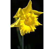 The Daffodil Glows Photographic Print