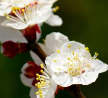 A Sprig of Apricot Blossoms 1 Sticker