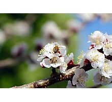 Bee Visiting an Apricot Blossom 2 Photographic Print