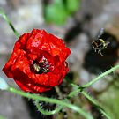 The Bumble & The Poppy - NZ by AndreaEL