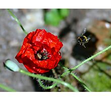 The Bumble & The Poppy - NZ Photographic Print