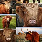 Highlander - Highland Cows - Highland Cattle - Hairy Coo by Martina Cross