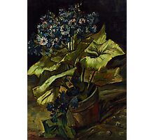 1886-Vincent van Gogh-Cineraria-45,5x54,5 Photographic Print