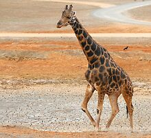 Giraffe in Dry Lake by Stephen Mitchell