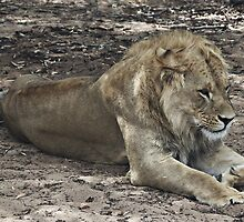 Resting Lion by Stephen Mitchell
