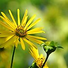 Ray of Sunshine by Debbie Oppermann
