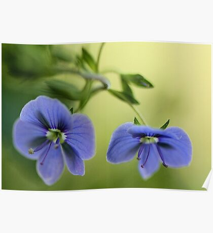 -Blue Speedwell Blossoms Poster