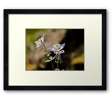Colorado Columbine flowers Framed Print