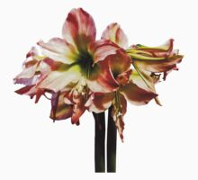 A Lovely Pink and White Amaryllis Baby Tee