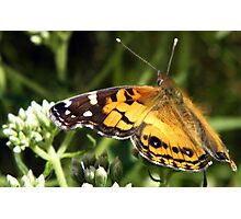 Painted Lady at Rest Photographic Print