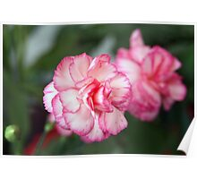 Pink Begonia Blossoms Poster