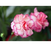 Pink Begonia Blossoms Photographic Print