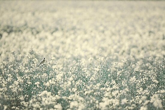 Alone in the canola field by Dominika Aniola