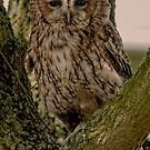 Tawny Owl by JMChown