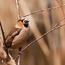 Hawfinch by Dominika Aniola